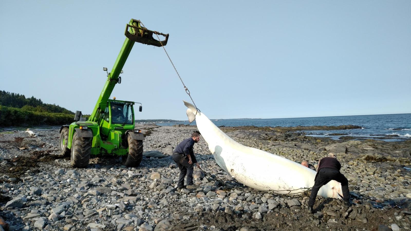 C'est la 17e carcasse à être trouvée cette année sur les berges du fleuve Saint-Laurent