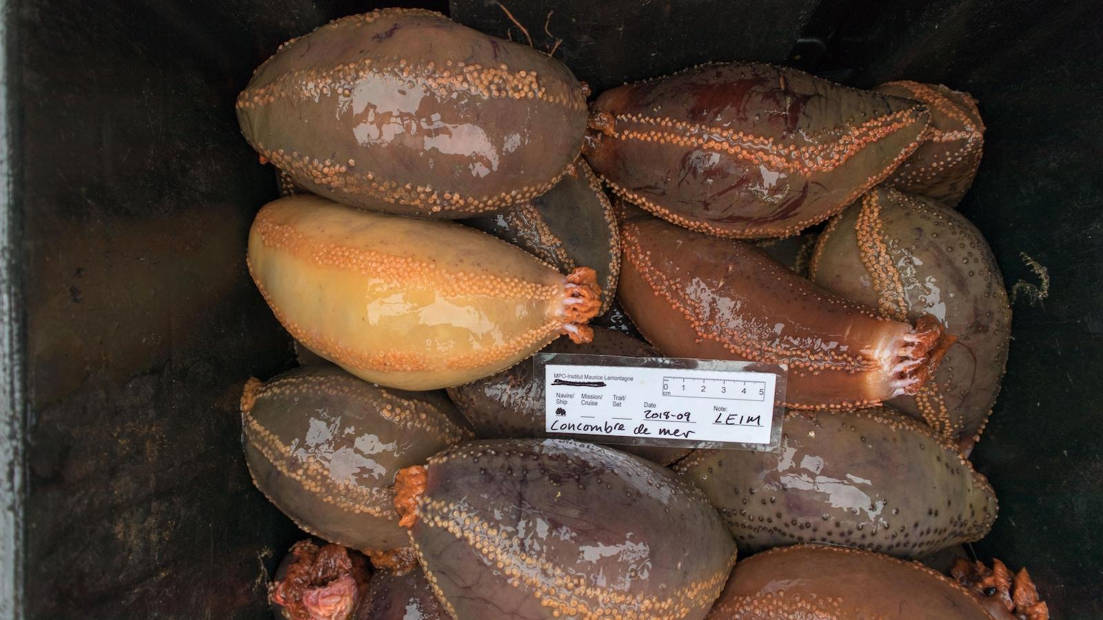 Des chercheurs évaluent les stocks de concombre de mer pour la première fois.