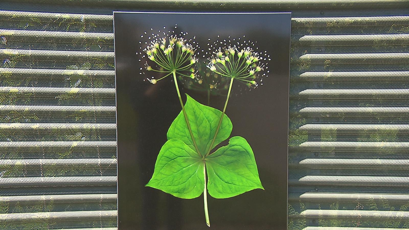 Les végétaux «artistiquement modifiés» de Fernande Forest