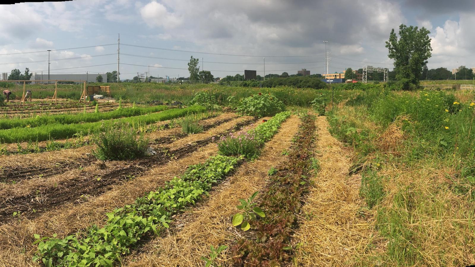 Des agriculteurs urbains exp rimentent la culture de for Jardin urbain