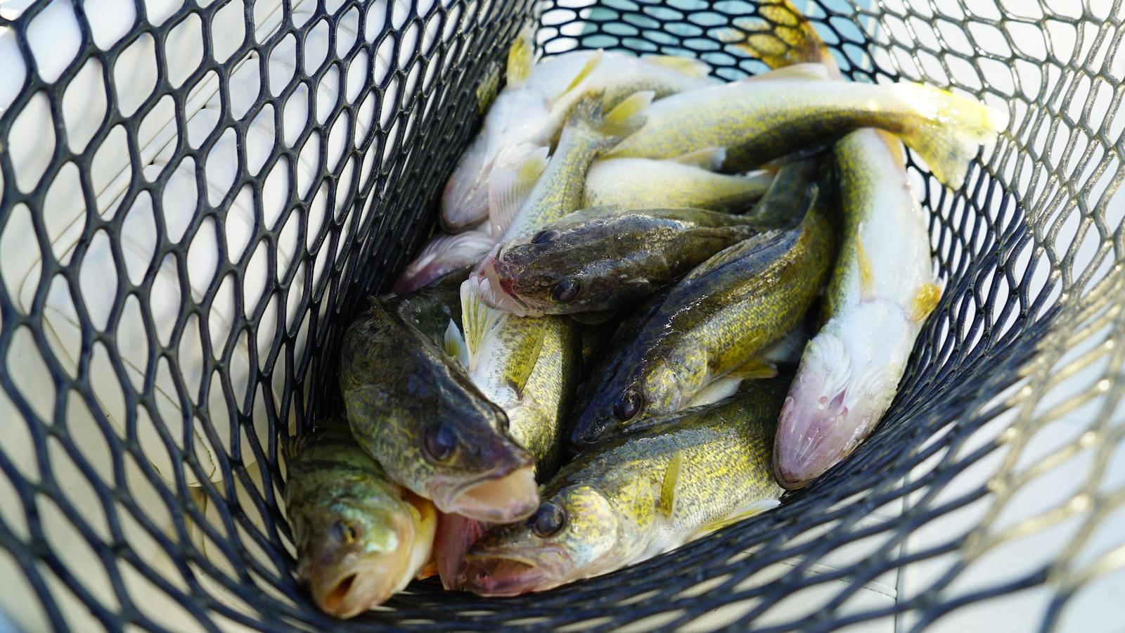 Une dizaine de poissons