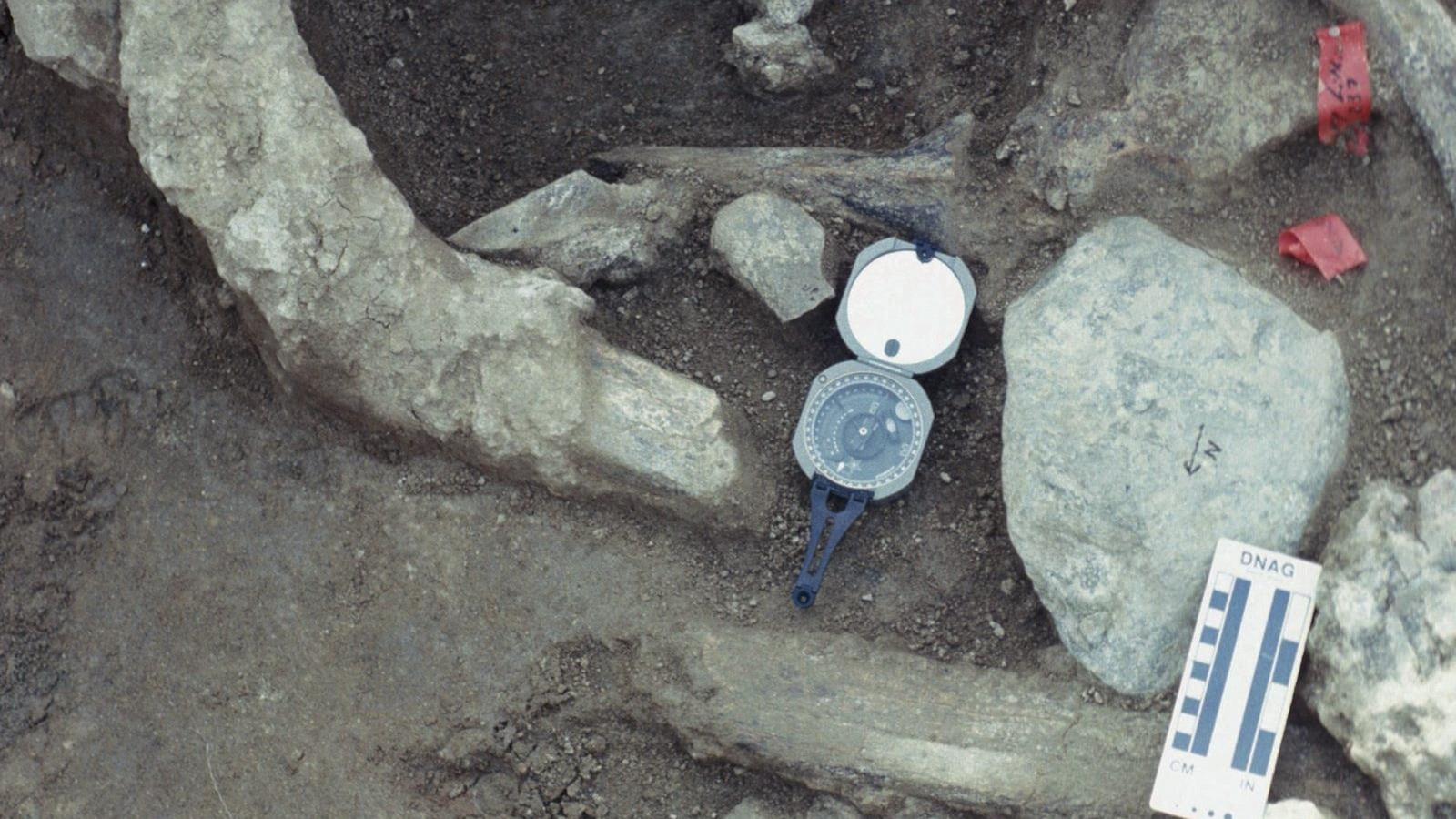Les os du mastodonte découverts en 1993 près de San Diego