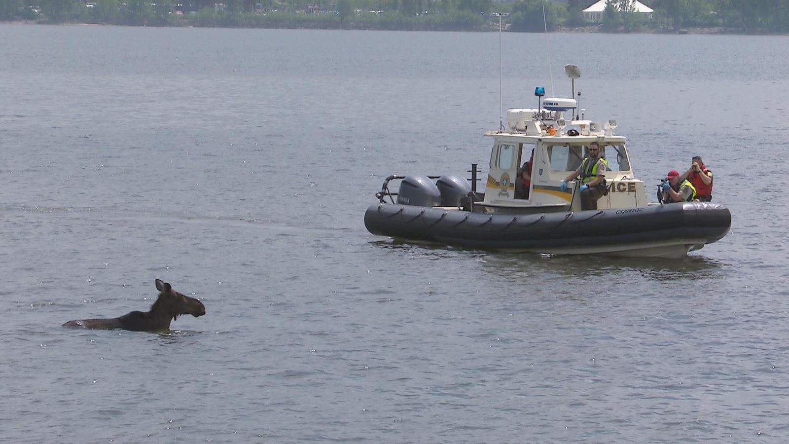 Des policiers et des agents de protection de la faune ont été mobilisés pour endormir l'orignal dans la baie de Beauport