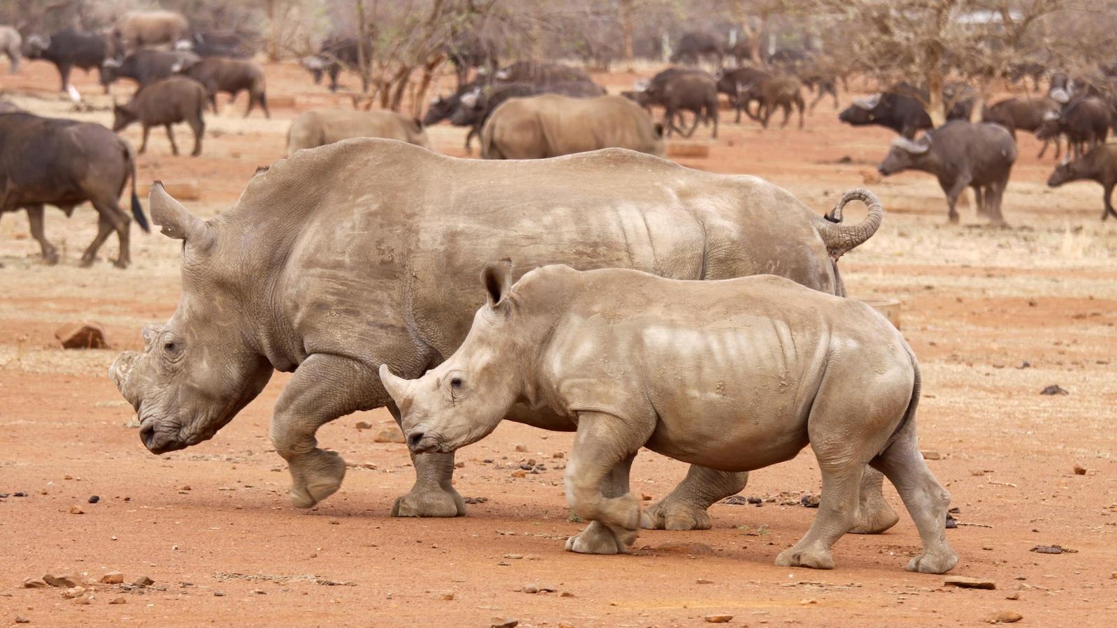 Les vétérinaires du parc national Kruger, en Afrique du Sud, ôtent les cornes des rhinocéros pour éviter qu'ils ne se fassent tuer par les braconniers.