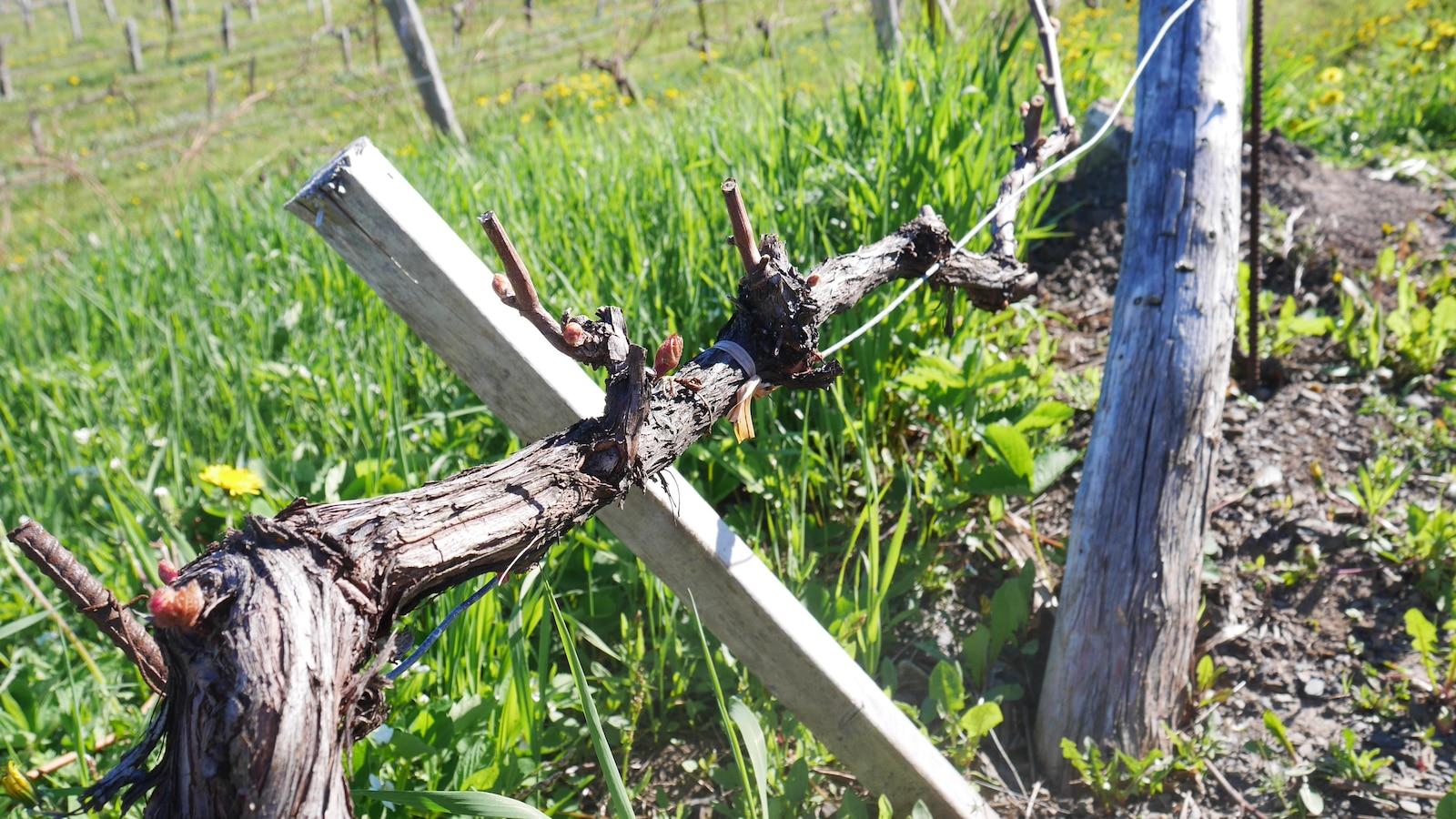 Le principal cépage cultivé au vignoble de Saint-Ulric est le baltica, un cépage hâtif qui paradoxalement répond bien au printemps tardif de la Gaspésie.
