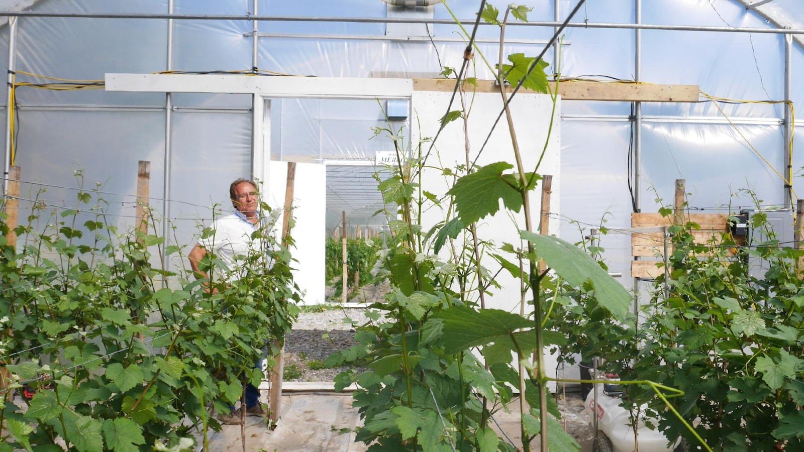 Tony Carpinteri  estime qu'à terme ses plants de vigne en serre seront deux fois plus productifs que les hybrides plantés à l'extérieur