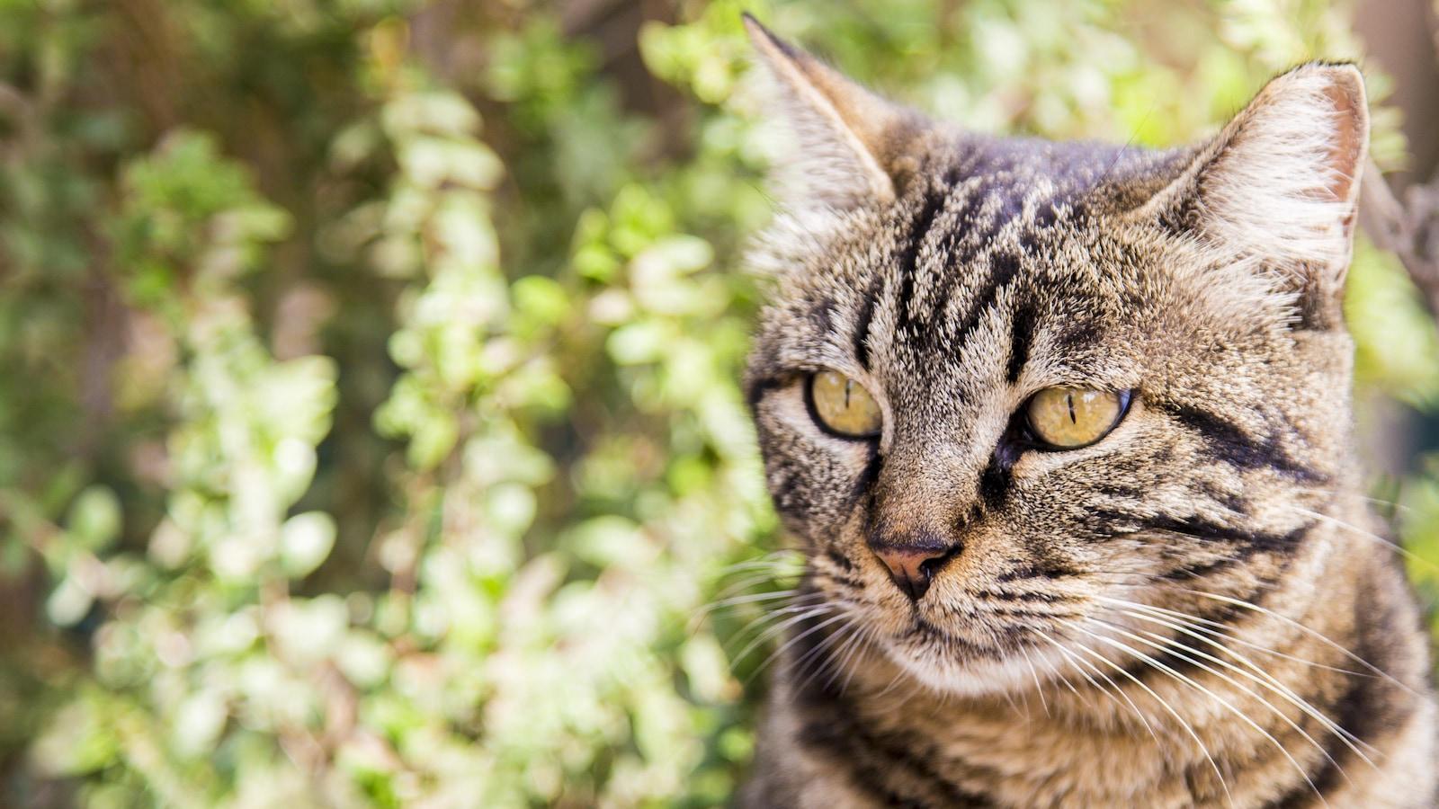 Gros plan de la tête d'un chat tigré gris devant des feuilles.