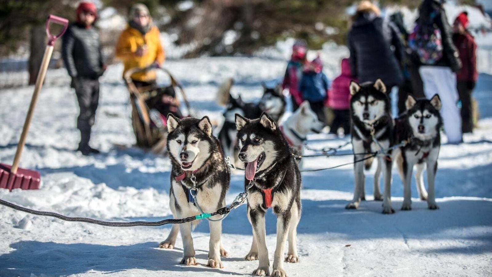 On voit des chiens husky attelés pour la promenade en traîneau