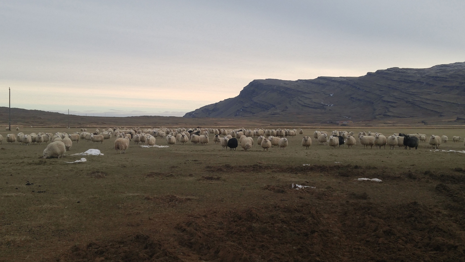 Des moutons en Islande