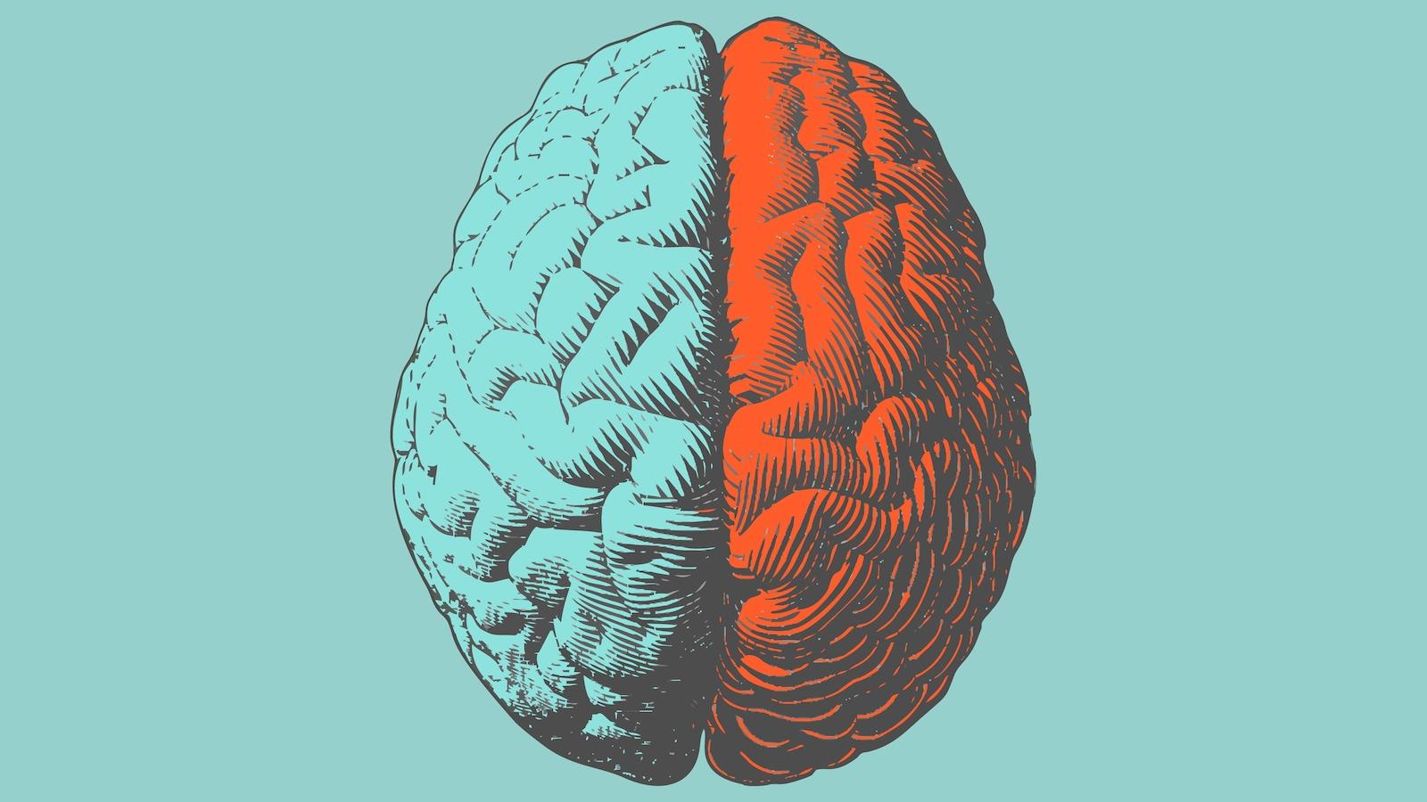 Une illustration en couleur d'un cerveau humain.