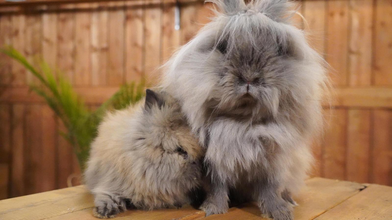 Deux lapins très poilus.