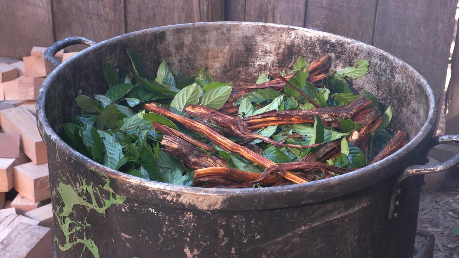 L'ayahuasca est consommée dans la clandestinité par des adeptes qui l'utilisent dans une démarche spirituelle.