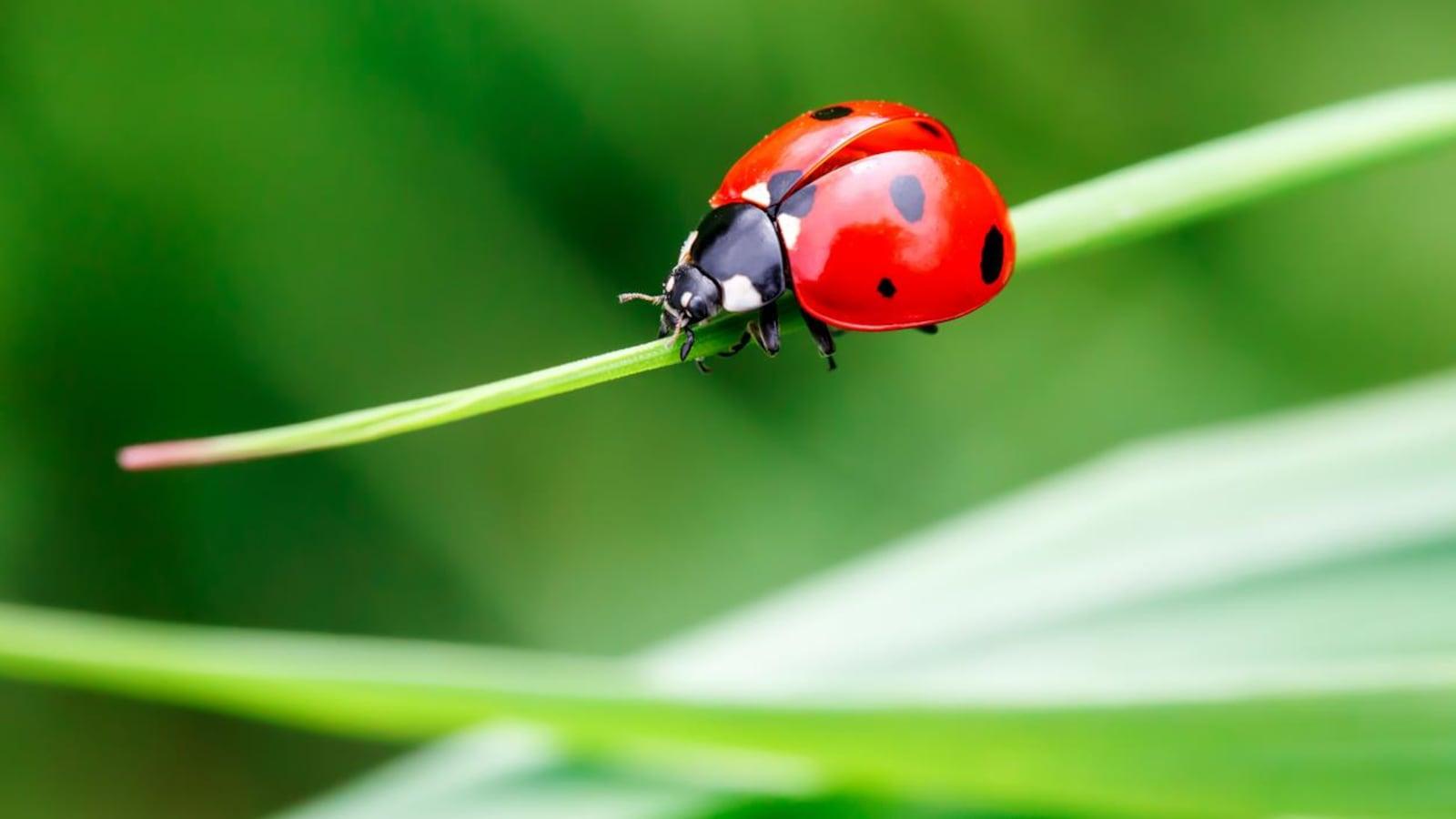 Photo macro de coccinelle dans l'herbe verte. Monde des insectes et des insectes macro. Nature au printemps concept.