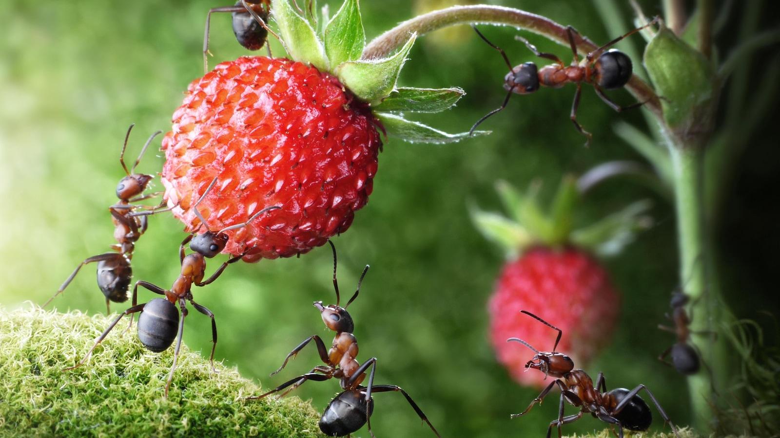Elles portent une fraise