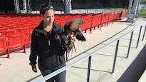 Noah, une buse de Harris mâle, et la fauconnière de GPF Gestion de la faune, Brigitte Provost.