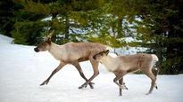 Le caribou de la toundra sur la liste des espèces menacées