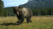 Un grizzly