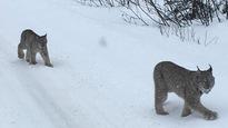 Des lynx sur la route près deJasper