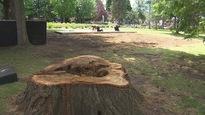 Le parc Miner de Granby. Au premier plan, la souche d'un arbre qui a été coupé vendredi, après s'être abattu sur une tente