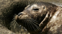 N'approchez pas des jeunes phoques, préviennent les spécialistes