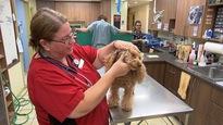 La vétérinaire procède à la vérification  d'un chien à la recherche de tiques.