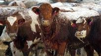 Un troupeau de vaches.