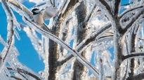 Un oiseau tente de se poser sur les branches d'un arbre recouvert de verglas.