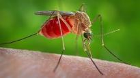 Le moustique Culex quinquefasciatus est un agent dans la transmission du virus du Nil et d'une forme d'encéphalite, qui pourrait également transmettre le Zika.
