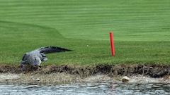 Un golfeur effraie un alligator