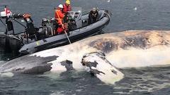 Une sixième baleine morte dans le golfe du Saint-Laurent