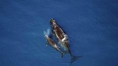 Un nouveau modèle confirme le déclin des baleines noires