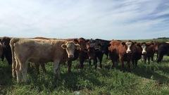 Une nouvelle appellation pour le bœuf du Québec