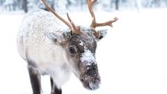 Protection du caribou: les skieurs, plus nuisibles que les forestières?