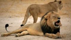 Le fils de Cecil le lion tué dans une partie de chasse au Zimbabwe