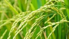Le riz italien, l'un des meilleurs au monde