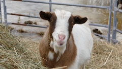 Des animaux de la ferme pour réduire l'anxiété des enfants