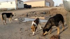 17 chiens errants récupérés dans la Première Nation Big River
