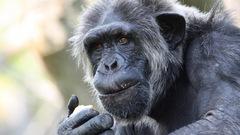 Des marqueurs révélateurs de l'alzheimer observés chez le chimpanzé