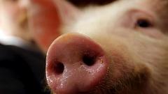1200 porcs trouvés morts dans une grange «pleine de purin»