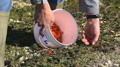La saison de cueillette de la chicoutai bat son plein en Basse-Côte-Nord