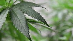 Une production de cannabis à Bécancour?