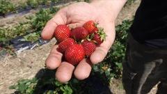 Des conseils pour conserver vos fraises