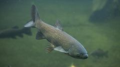 La menaçante carpe asiatique est arrivée dans le fleuve Saint-Laurent