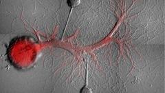 Les souvenirs cohabitent dans un neurone