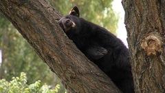Attention aux ours en ville