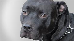 Des propriétaires de pitbulls condamnés à payer 223000$ pour l'attaque sauvage d'une enfant
