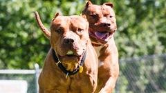 Loi anti-pitbull: une centaine de chiens transférés à l'extérieur du Québec