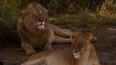 Chanson Lion, lionne, lionceau
