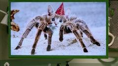 Morsure d'araignée-chat