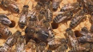 Ruches s'affairant près des alvéoles d'une ruche.